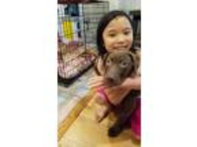 Adopt Mint (I have a video) a German Shorthaired Pointer