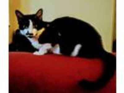 Adopt Sara a Black & White or Tuxedo American Shorthair / Mixed cat in