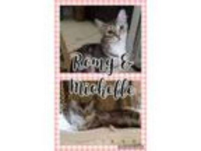 Adopt Romy & Michelle a Gray, Blue or Silver Tabby Domestic Longhair (long coat)