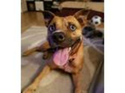 Adopt Jules a Brown/Chocolate - with Black Shepherd (Unknown Type) / Mixed dog