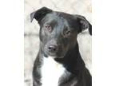 Adopt Davey a Australian Cattle Dog / Blue Heeler, Labrador Retriever