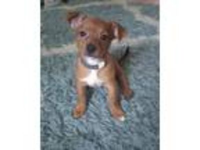 Adopt Nestle--Avail NOW-CT a Terrier