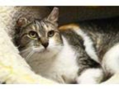 Adopt Erin a White Domestic Shorthair / Domestic Shorthair / Mixed cat in
