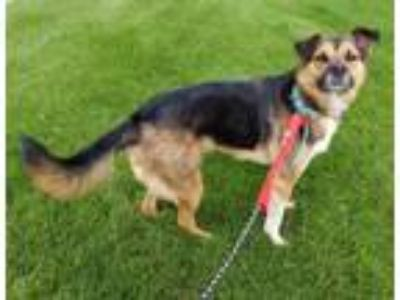 Adopt Texas a German Shepherd Dog, Australian Shepherd