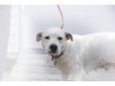 Adopt Ava (Angelfish) a White Pit Bull Terrier / Labrador Retriever / Mixed dog