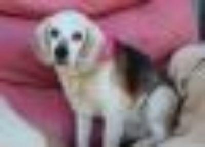 Sheba Beagle Dog