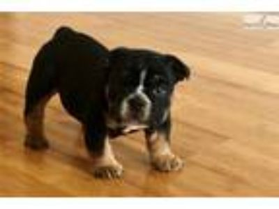 Black tri mini English Bulldog