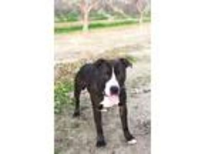 Adopt Sneakers a Brown/Chocolate - with White American Pit Bull Terrier / Mixed
