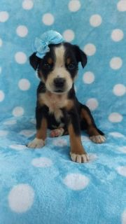 Greater Swiss Mountain Dog PUPPY FOR SALE ADN-93382 - AKC Greater Swiss Mountain Dog Puppy