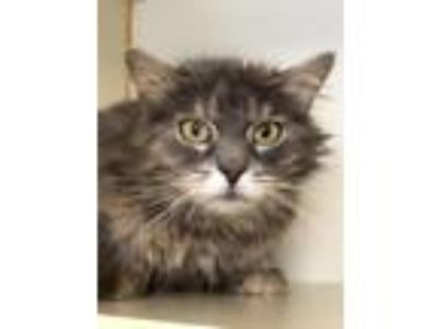 Adopt Winifred a Domestic Medium Hair