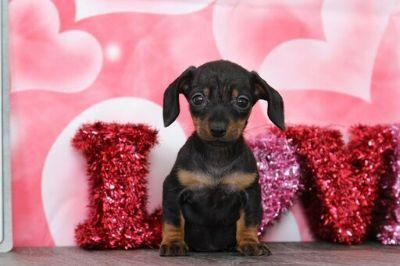 Dachshund PUPPY FOR SALE ADN-113895 - Millie Female Dachshund Puppy