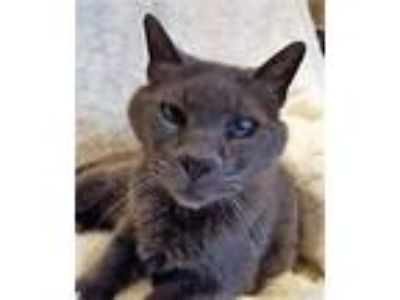 Adopt Olivia a Gray or Blue Domestic Shorthair (short coat) cat in Novato