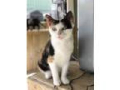Adopt Daffodil a Orange or Red Domestic Shorthair / Domestic Shorthair / Mixed