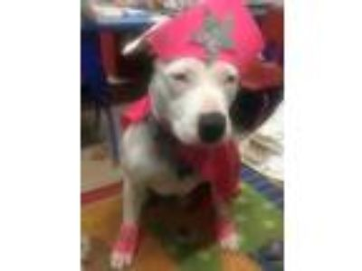 Adopt Daisy a White American Pit Bull Terrier / Mixed dog in San Jose