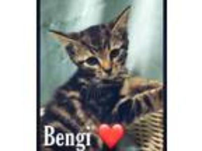 Adopt Benji a Brown or Chocolate Domestic Shorthair / Domestic Shorthair / Mixed