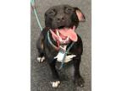 Adopt Raven a Staffordshire Bull Terrier / Mixed dog in Madison, NJ (25275364)