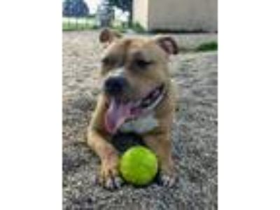 Adopt Jack a Tan/Yellow/Fawn American Pit Bull Terrier / Mixed dog in DeKalb