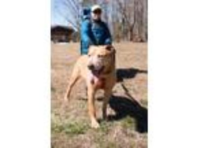 Adopt Carl a Tan/Yellow/Fawn - with White Catahoula Leopard Dog / Mixed dog in