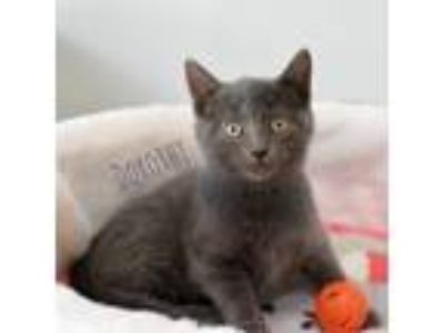 Adopt Dorothy a Spotted Tabby/Leopard Spotted Russian Blue cat in Palatine