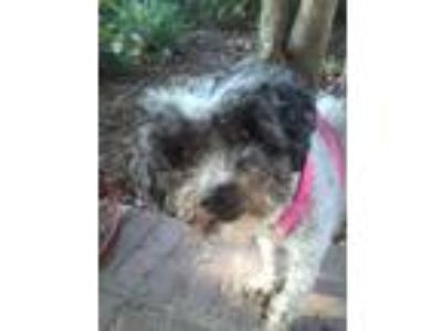 Adopt Bobbi a Gray/Silver/Salt & Pepper - with White Poodle (Miniature) / Mixed