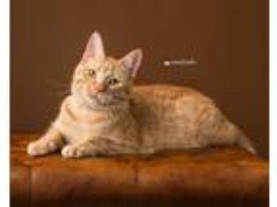 Adopt Shirley a Orange or Red Tabby Domestic Shorthair (short coat) cat in Sioux