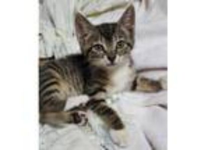 Adopt Gabriola a Gray or Blue Domestic Shorthair / Domestic Shorthair / Mixed