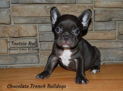 French Bulldog PUPPY FOR SALE ADN-103700 - Akc Chocolate Female French Bulldog