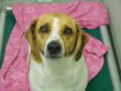 Adopt Dag a Brown/Chocolate Beagle / Corgi / Mixed dog in Bardstown