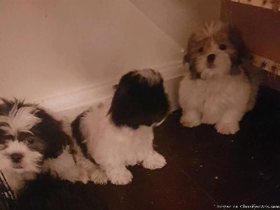 Darling Shih Tzu needs loving home!