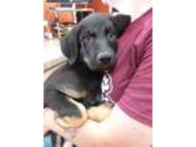 Adopt Pluto a Black Shepherd (Unknown Type) / Mixed dog in Benton, KY (25908212)