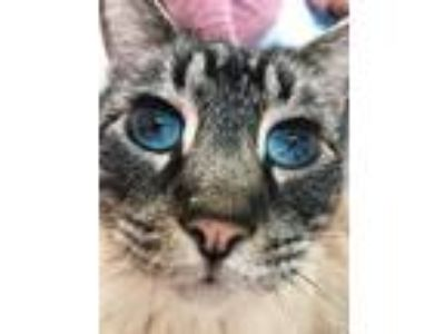 Adopt Simba a Gray, Blue or Silver Tabby Siamese (short coat) cat in Lancaster