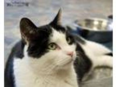 Adopt George a Domestic Short Hair