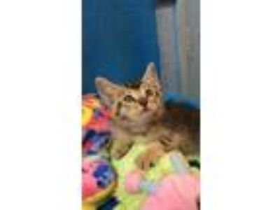 Adopt Brett a Gray or Blue Abyssinian / Domestic Shorthair / Mixed cat in