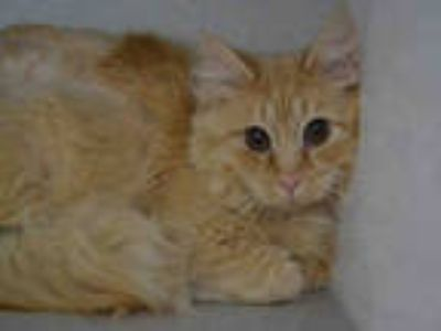 Adopt WRIGLEY a Orange or Red Tabby Domestic Shorthair / Mixed (short coat) cat