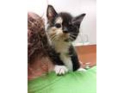 Adopt Jeanette a All Black Domestic Shorthair / Mixed cat in Benton