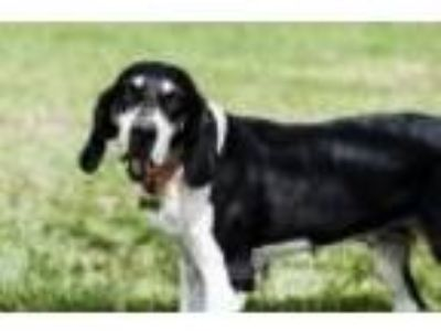 Adopt Daisy a Black - with White Coonhound / Treeing Walker Coonhound / Mixed