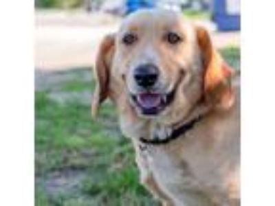 Adopt Alex a Tan/Yellow/Fawn Labrador Retriever / Basset Hound / Mixed dog in
