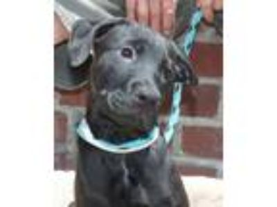 Adopt Zimbabwee a Black Rottweiler / American Pit Bull Terrier / Mixed dog in