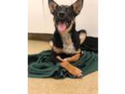 Adopt Darcy a Black - with Tan, Yellow or Fawn Shepherd (Unknown Type) / Mixed