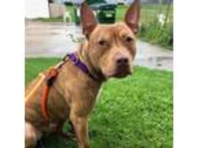 Adopt Buzz Lightyear a Brindle American Pit Bull Terrier / Mixed dog in Racine