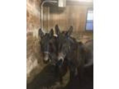 Adopt Laurel and Harvey a Mule