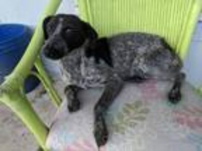 Adopt Momma Jewel a Cattle Dog, German Shorthaired Pointer