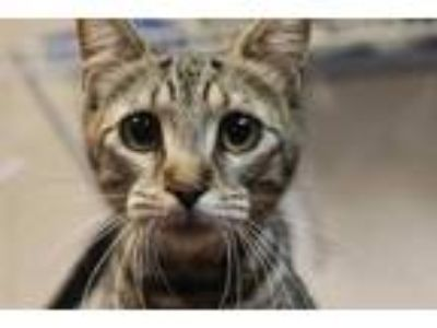 Adopt Calamity Jane a Tan or Fawn Domestic Shorthair / Domestic Shorthair /