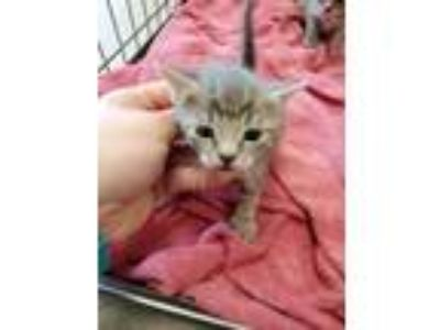 Adopt Frisco 115135 a Gray or Blue Domestic Shorthair (short coat) cat in