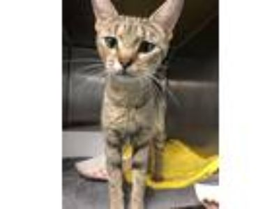 Adopt Betty Crocker a Domestic Shorthair / Mixed cat in Richmond, VA (25582502)