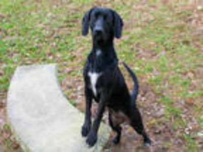 Adopt PEARL a Black Labrador Retriever / Mixed dog in Louisville, KY (23205595)