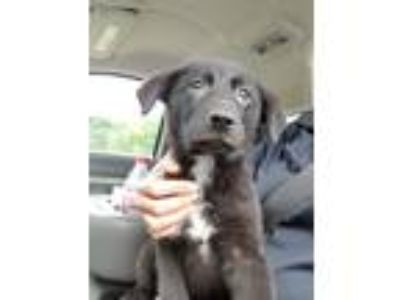 Adopt Mulan a Black - with White Border Collie / Labrador Retriever / Mixed dog