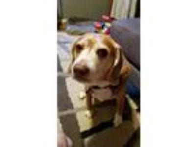 Adopt Lincoln a Brown/Chocolate - with White Beagle / Mixed dog in Nashville