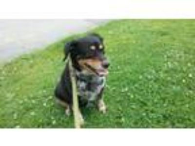 Adopt Nicolette a Cattle Dog, Mixed Breed