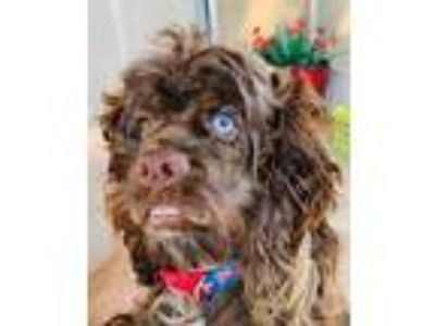 Adopt Justin a Brown/Chocolate Cocker Spaniel / Mixed dog in Lakeland